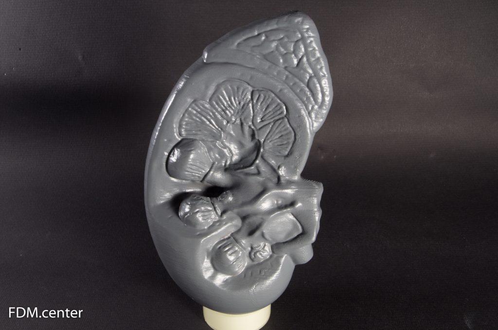Анатомическая модель почки собаки 3d печать