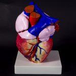 Анатомическая модель сердца кубик рубика 3d печать