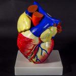 Анатомическая модель сердца 3d печать